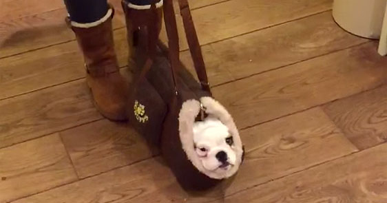 Adorable Little British Bulldog Hops Into Her Puppy Carrier