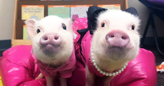 These Adorable Little Piggies Are Better Dressed Than You Are